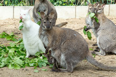 Grazzing Red-necked Wallaby (Macropus rufogriseus) Stock Photo