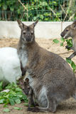 Grazzing Red-necked Wallaby (Macropus rufogriseus) Royalty Free Stock Images