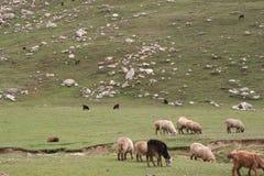 Grazzing sheeps royalty-vrije stock foto