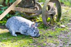 Gre rabbit on the farm stock photography