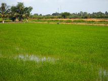 Gre verdoso de la hierba de los campos del verde del viridity del verdor del árbol del arroz verdantly del verdor del verdor verd imagen de archivo