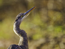 Greaet Blue Heron Up Royalty Free Stock Photography