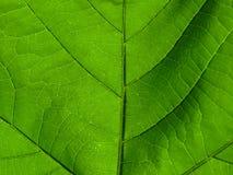 grean φύλλο στοκ φωτογραφία με δικαίωμα ελεύθερης χρήσης