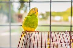 Grean и желтый волнистый попугайчик длиннохвостого попугая сидя на ее клетке Стоковая Фотография RF