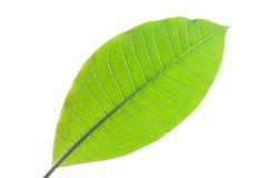Grean-Blatt von Plumeria lokalisiert Stockbild