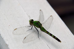 Grean Dragon. Dragonfly Royalty Free Stock Photos