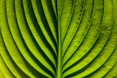 grean leaf Royaltyfri Foto