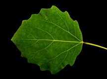 Grean  leaf  aspen on a black  background isolated. Royalty Free Stock Photography
