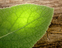 Grean Leaf Royalty Free Stock Photography