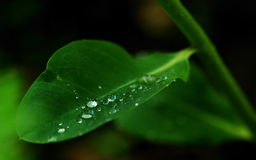 Grean leaf with waterdrops Stock Images