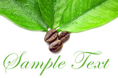 Grean leafes und Kaffeebohnen Stockfotos