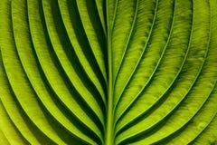 grean liść Zdjęcie Royalty Free