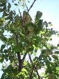 Grean obfitolistny śliwkowy drzewo Obrazy Stock