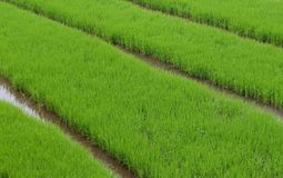 Grean Rice Field Stock Image