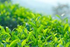 Grean tea background Stock Photo