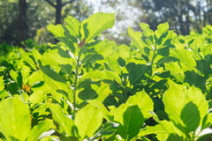 Grean tea leaf photosynthesize in a sunny day Royalty Free Stock Photo