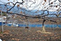 Greape树 免版税图库摄影