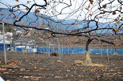 Greape träd Royaltyfri Fotografi