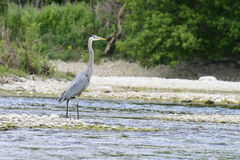 Greart Blue Heron on the River Royalty Free Stock Photos