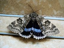 Grease moth Aglossa cuprina, nocturnal moth, insect related to butterflies Lepidoptera stock photo