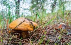 Greasers ξεφυτρώνουν στο δάσος αυξάνονται κάτω από τις βελόνες πεύκων Στοκ φωτογραφία με δικαίωμα ελεύθερης χρήσης