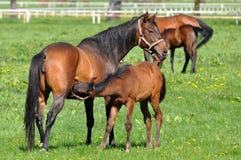 greastfeeding她的母马的驹 图库摄影