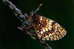 Free Greasy Fritillary (Euphydryas Aurinia) Royalty Free Stock Image - 26950706