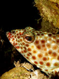 Greasy grouper. (epinephelus tauvina). Taken at Ras Mohammed in Red Sea royalty free stock photo