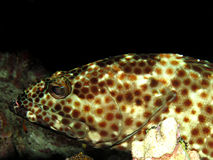 Greasy grouper Royalty Free Stock Image