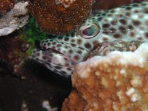 Greasy Grouper 2. Talen in the red sea stock image