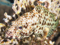 Greasy grouper on a coral reef Royalty Free Stock Images