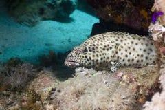 Greasy grouper (epinephelus tauvina) Stock Image