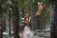 Great Adult Fallow Deer With Big Horns, Beautifully Turned Head. European Wildlife Landscape With Deer Stag. Portrait Of Lonely De. Er With Big Antlers At Winter stock photo