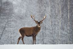 Great adult noble red deer with big beautiful horns on snowy field on forest background. Cervus Elaphus. Deer Stag Close-Up. Great Adult Noble Red Deer With Big