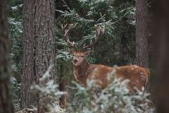Great Adult Noble Red Deer With Big Horns Stands Among The Snow-Covered Pines And Look At You. European Wildlife Landscape With De. Er Stag Cervus Elaphus stock photos