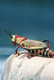 Great African grasshopper sitting on the edge of the pool Royalty Free Stock Images