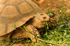 Great African Tortoise eating. Great African Tortoise in a refuge Stock Photo