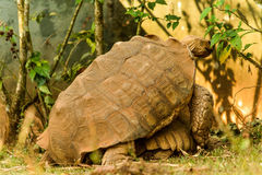 Great African Tortoise mating. Great African Tortoise in a refuge Royalty Free Stock Photos
