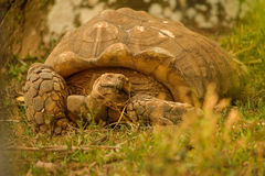 Great African Tortoise. In a refuge Royalty Free Stock Image