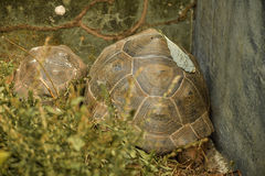 Great African Tortoise. In a refuge Stock Photography