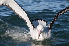Great Albatross. Kaikoura, South Island, New Zealand Royalty Free Stock Photography