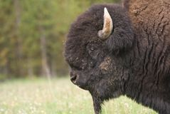 Great American Bison stock photos