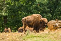Great American Bison - Bison bison. Asheboro, NC – July 18th; the Great American Bison can be viewed in the short-grass prairie display at the North stock images