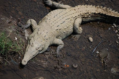 Great American crocodile lies on the banks of the river in Costa Rica Stock Image