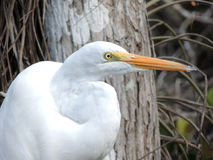 Great American Egret Royalty Free Stock Image