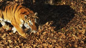 Great amur or ussuri tiger is walking in Primorsky Safari park, Russia. Amazing strong amur or ussuri tiger is walking in Primorsky Safari park, Russia. It was stock footage