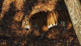 Great amur or ussuri tiger is walking in Primorsky Safari park, Russia. Amazing strong amur or ussuri tiger is walking under autumn trees in Primorsky Safari stock video