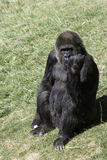 Great Ape. Gorilla sitting on grass with hand rasied in the air stock image