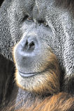 Great Ape. Close-up portrait of an adult Great Ape Royalty Free Stock Image
