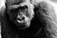 Great Ape, Black, Black And White, Western Gorilla Stock Photo